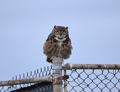 Great horned owl on wire fence (charlescpan) Tags: