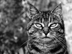Portrait of a tabby cat (Zèè) Tags: cat chat cats tabby tiggy black bw blackandwhite white noirblanc noir nature monochrome blanc