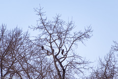 Young Eagles Hanging Out (AphidmanCalgary) Tags: calgary alberta canada ca eagle bird