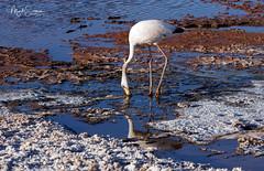 Lunch time (marko.erman) Tags: atacama pedro chile desert salt dry arid beautiful panorama road sony cordillera geology formation geological layers flamingo lagoon chaxa bird valledelsal sanpedrodeatacama