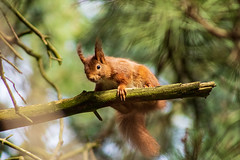 Red Squirrel (mlomax1) Tags: formby fauna merseyside nature england rodent squrrels mammal nationaltrust freshfields canoneos80d outdoor canon formbypoint redsquirrelsconservation wildlife