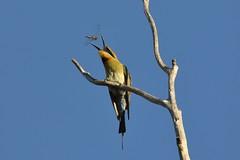 Rainbow bee-eater (Merops ornatus) (johnedmond) Tags: perth westernaustralia bird nature canon eos7d 7dmkii 100400mm ef100400mmf4556lisiiusm