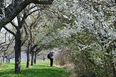 Le chasseur d'images (Croc'odile67) Tags: nikon d3300 sigma contemporary 18200dcoshsmc paysage landscape fleurs flowers arbres trees printemps spring fruhling floraison nuage