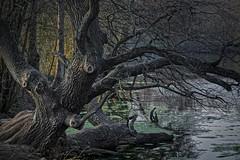 Im Oberwald (nordelch61) Tags: deutschland hessen heimat darmstadt oberwaldhaus steinbrückerteich baum teich see wasser baumstamm äste zweige ufer forest tree wooden fairytale enchanted märchen märchenhaft rinde wald holz moos