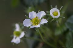 2019_03_30 (kbl phtogaphy) Tags: flor flores flors nikon naturaleza naturalesa natura nikor105 nikon5100 airelibre flowers nature macrofotografia macrophotography