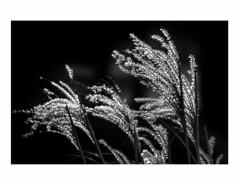 Winter Grass (Neil Cornwall) Tags: 2019 march winter kingsville ontario canada grass ornamental blackwhite monochrome landscape
