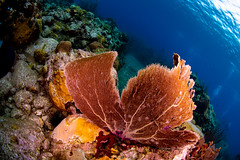 current and sea fan (b.campbell65) Tags: stlucia animal beautiful blue caribbean colorful coral fish island landscape marine nature ocean outdoors reef scenic scuba sea travel tropical underwater water