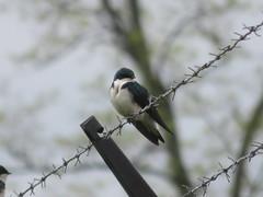 Tree Swallow (D. S. Hałas) Tags: halas hałas canada ontario haltonregion haltoncounty oakville sedgewickforest chordata sarcopterygii aves passeriformes hirundinidae tachycinetabicolor treeswallow swallow bird