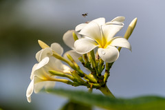 Frangipani Flowers (Merrillie) Tags: frangipani holidays landscape flowers nature floral tropics insect southpacific flora fiji flower gardens tree outdoors green frangipanis coralcoast tropical white