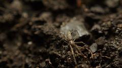 Strekspin (Tetragnathidae) (Johan Leurelle) Tags: tetragnathidae macro macrophotography nature spider 50mm reversed pentax