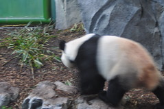 20190101-DSC_3767 (Beothuk) Tags: calgary zoo new years day 2019 giant panda indoor