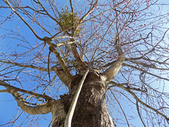 Looking Up A Tree. (dccradio) Tags: lumberton nc northcarolina robesoncounty outdoor outdoors outside february winter afternoon saturday saturdayafternoon goodafternoon nikon coolpix l340 bridgecamera nature natural tree trees branch branches treebranch treebranches treelimb treelimbs sky bluesky greenery mistletoe