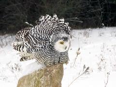 Robert Snowy Owl CRC IMG_3669 (Jennz World) Tags: ©jennifermlivick canadianraptorconservancy vittoria ontario canada snowyowl owl raptor winter snow
