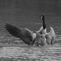 336 (robwiddowson) Tags: geese goose birds nature robertwiddowson art photography