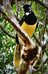Bird in Iguazu in Tree (Alexander H.M. Cascone [insta @cascones]) Tags: south america southamerica argentina latinoamerica latin misiones iguazu cataratas de foz do parana junglo jungle cascada selva forest nature natural flora trees fauna animal bird flyer colorful blue yellow eyes beady branch beak birding ornithology ave pajaro