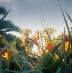 Animated Flowers (BunnySafari) Tags: garden november melbourne portra400 eveninglight australia yashicamat124g film birdsofparadise fitzroygardens
