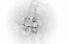 Flowers .. (Julie Greg) Tags: art abstract flower flowers canon77d nature nautre bw monochrome