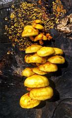 Stump Fungus (meniscuslens) Tags: fungus rot log ashridge forest national trust buckinghamshire