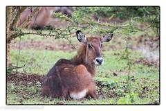Kenya_0203201928647_DxO-Modifier.JPG (lolofafacha) Tags: cob animaux