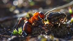 Rode bosmier (andabata) Tags: life arthopoda animalia insecta hymenoptera forimicasp rodebosmier redwoodant mier ant