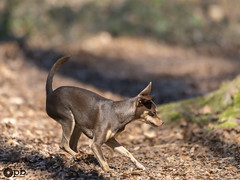 Nestor à l'affût (Philippe Bélaz) Tags: nestor pragois ratierdeprague affût animal animaux animauxdecompagnie balades brun chiens chocolat forêts