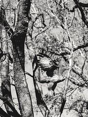 Analog capture of the predator (CsiziPhoto) Tags: nikonfe nippon nikkorpauto105cmf25 kodaktmax400 primefilmxes