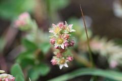 Sedum tenellum Lago-Naki July 2018 (Aidehua2013) Tags: sedum tenellum crassulaceae saxifragales plant flower lagonaki maikopdistrict adygea russia caucasus