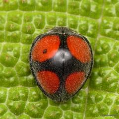 Lady Beetle, Epilachna hybridula? Coccinellidae (Ecuador Megadiverso) Tags: andreaskay beetle coccinellidae coleoptera ecuador epilachnaaequatorialis ladybeetle epilachnahybridula