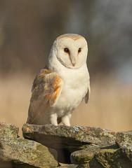 Barn owl (waynehavenhand1) Tags: tytoalba naturephotography wall nature raptor wild bird owl barn barnowl