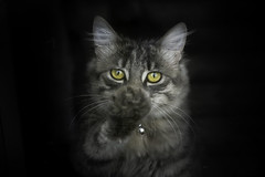 Bella (Wild.Woods.Photography) Tags: bella cat cateyes eyes kitten kitty nature pet petphotography petportrait portrait animal animalportrait fineart art