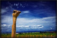 Ostrich... (SHADOWY HEAVEN Aya) Tags: 08081870s0029 北海道 hokkaido 日本 ファインダー越しの私の世界 写真好きな人と繋がりたい 写真撮ってる人と繋がりたい 写真の奏でる私の世界 写真で伝えたい私の世界 coregraphy japan tokyocameraclub igers igersjp phosjapan picsjp 空 雲 cloud clouds sky ダチョウ ostrich animal animals