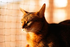 In the summer heat (DizzieMizzieLizzie) Tags: za 50mm f14 t planar zeiss animal dof bokeh golden pet classic pose a7iii ilce7m3 2018 ilce fe chat gatos neko sony pisica meow kot katze katt gatto gato feline cat portrait dizziemizzielizzie lizzie aby abyssinian