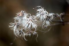 Stringy Seeds (soupie1441) Tags: london ontario canada seeds bush nikon d7200 105mm nikkor nature plant