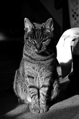 Daughter of Ancient Cats (timmerschester) Tags: tabby stripes gato feline cat kitty cute monochrome city house sunshine michigan leelu