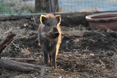 井の頭自然文化園のイノシシ20190118 (tsukunepapa) Tags: photobytsukunemum 井の頭自然文化園 イノシシ