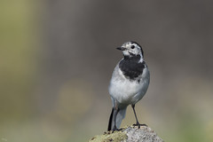Bergeronnette grise (Richard Holding) Tags: motacillaalba bergeronnettegrise bird finland finlande m43 nature oiseau olympus omd summer wagtail whitewagtail wildlife été