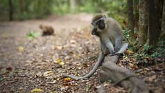 Interested... (Stefan Zwi.) Tags: monkey vervetmonkey meerkatze grünemeerkatze affe südafrika southafrica animal fauna ngc npc tamron70200mm128