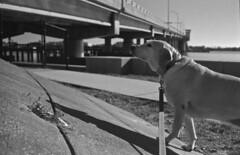 Climb Every Mountain (PositiveAboutNegatives) Tags: leica slr leicaflex vintagecamera rleica lab film analog bw blackandwhitefilm fomapan200 35mmelmarit leicar 35mm dog labrador yellowlab