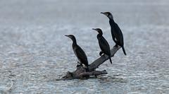 Three on a tree (Bart Hardorff) Tags: 2019 barthardorff crezéepolder thenetherlands aalscholver bird februari vogel greatcormorant phalacrocoraxcarbo