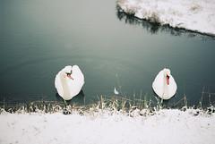 Swans in the Snow (Roderick van der Steen) Tags: kodak portra400 nikonf100 zeissmilvus50mmf14distagon zeiss milvus1450 zf2 nature swan swans water reflections snow cold
