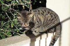 DSC01993 Chico, Mallorca (Fernando Sa Rapita) Tags: sarapita mallorca gato gatito cat mascota pet sony sonyrx100 sonydscrx100