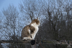 On The Grapevine Pergola (Xena*best friend*) Tags: catherinedeneuve cd grapevinepergola cats whiskers feline katzen gatto gato chats furry fur pussycat feral tiger pets kittens kitty animals piedmontitaly piemonte canoneos760d italy wood woods wildanimals wild paws calico markings ©allrightsreserved purr digitalrebelt6s efs18135mm flickr outdoor animal pet photo nature catprofile onthetopoftheworld imonthetopoftheworld