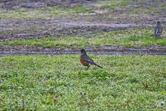 American Robin_5279 (Roger Kiefer) Tags: birds nature wildlife outdoors backyard american robin