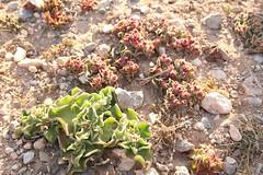Aizoaceae, Mesembryanthemum crystallinum, Cap Rhir, Morocco, 4th March 2019