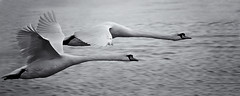 Neck and Neck (Solent Poster) Tags: swans monochrome bw inflight action