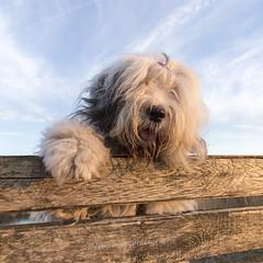 "hello (dewollewei) Tags: scarlett oldenglishsheepdog oldenglishsheepdogs old english sheepdog sheepdogs oes dewollewei sophieandsarah sophieensarah portrait"" dogs dog fence"