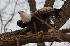 Bald Eagle (Derek Mickeloff) Tags: canon 7d birding bald eagle caledonia 2019 raptor birdofprey