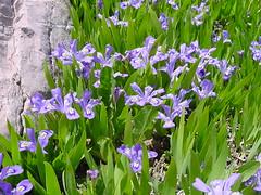 Iris cristata Aiton (Giardino Botanico Alpino Viote - Monte Bondone) Tags: giardinobotanicoviote montebondone muse bondone giardinobotanico botanicalgarden botanicgarden trentino trentinoaltoadige botanica botanic nature italy flower