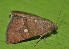 One spot Moth Amyna axis  Acontiinae Erebidae Noctuoidea Airlie Beach rainforest P1460930 (Steve & Alison1) Tags: one spot moth amyna axis acontiinae erebidae noctuoidea airlie beach rainforest