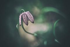 Chequered lily (Janette Paltian) Tags: janettepaltian canon 6dii porst porstcolorreflex dof bokeh chequeredlily schachbrettblume lily flower blume natur nature garden green lila grün spring frühling